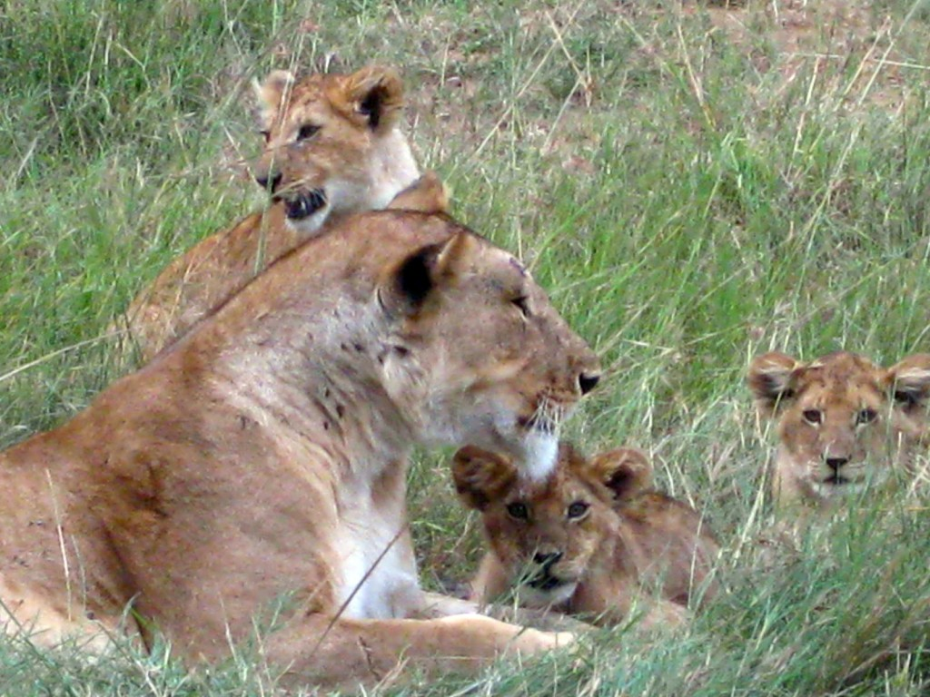 Curious lions cubs with mother - Masai Mara, Kenya