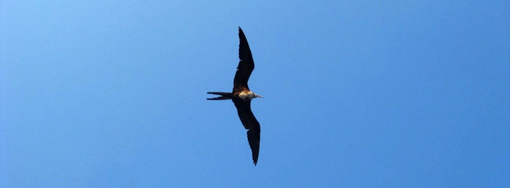 Frigate bird soaring above the Costa Maya, Quintana Roo, Mexico