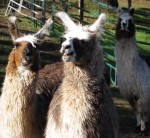 Pet llamas at Stanford Inn in Mendocino, California, USA