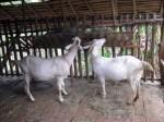 Mr T's goats - Van Vieng, Laos