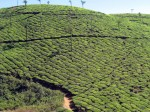 Tea plantation - Cardomom Hills - Kerala, India