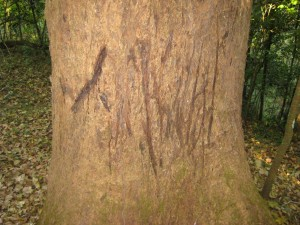 Tiger claw marks - Periyar Tiger Reserve, Kerala, India