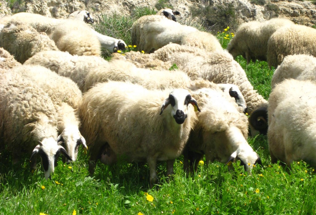 Grazing sheep in the Akamas Heights of Cyprus