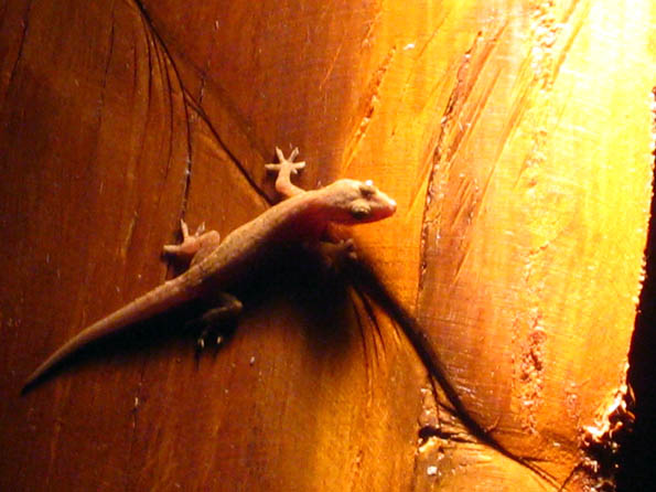 Gecko in the night on Isla Mujeres in Quintana Roo, Mexico