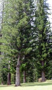 Stately Cook pines of Lanai in Lanai City, Hawaii, USA