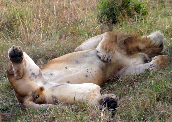 The lion sleeps today in the Masai Mara, Kenya