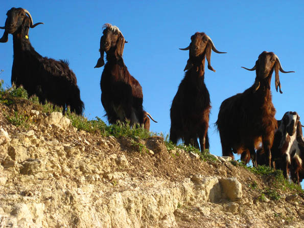 Curious Cyprus goats