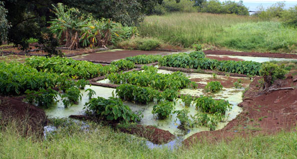 Lush, green taro patch on the East End of Molokai, Hawaii