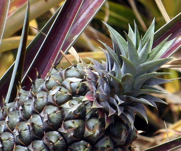 Organic pineapple plant, The Lodge at Koele in Lanai City, Lanai, Hawaii, USA
