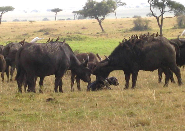 African Buffalo newborn calf being welcomed and protected in the Masai Mara, Kenya