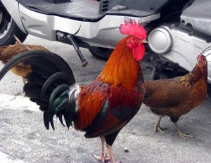 Gypsy chickens still strut the streets in Key West, Florida, USA