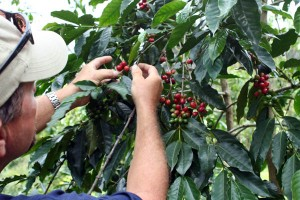 Owner Robert Barnes with ripe certified organic Kona coffee beans at Kona Rainforest Farms in South Kona, Big Island, Hawaii, USA