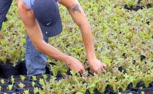 Harvesting organic lettuces for Organic Select Mexico near Puerto Vallarta, Jalisco, Mexico