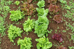 Tender organic lettuces, Honopua Farms - Waimea, Big Island, Hawaii, USA