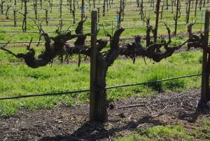 Ancient syrah vine in March in Napa Valley, California