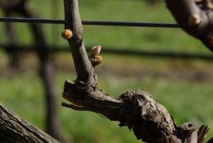 Budding grape vine in California