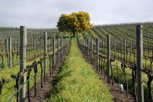 California vineyard rows