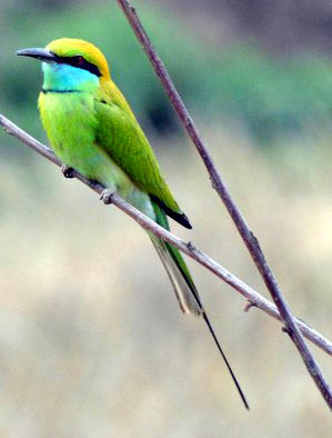 Colorful bird in Kanha National Park, India