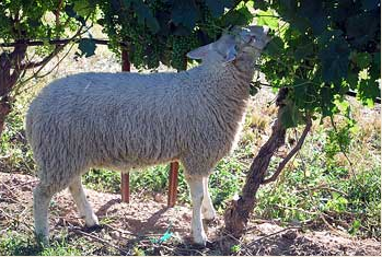 Sheep eating biodynamic grape vine in Ontario, Canada