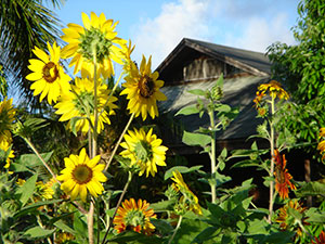 Sunflowers, North Country Farms in Kilauea, Kauai, Hawaii USA