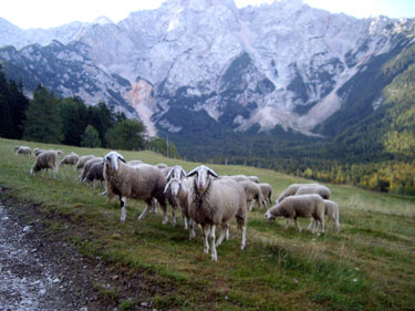Mountain sheep in Jezersko, Slovenia