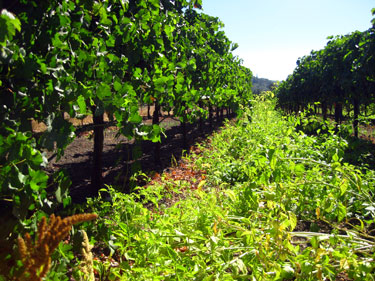 Grape vines interplanted with tomatillos, Rose Ranch in Kenwood, Calif., USA