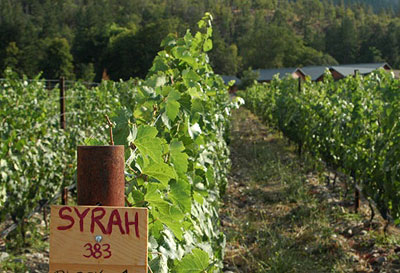 Syrah vines, Cow Horn Vineyard in Applegate Valley, Ore., USA