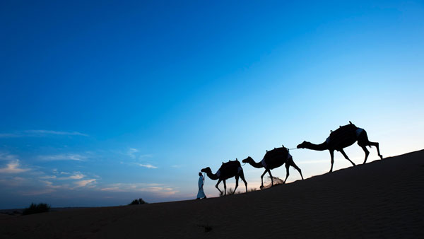Camel trekking, Al Maha Desert Resort in the Dubai Desert Conservation Reserve, Dubai