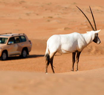 Oryx at Al Maha Desert Resort in the Dubai Desert Conservtion Reserve, Dubai