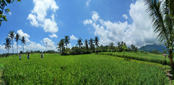 Rice fields near OMunity in Sudaji, Bali, Indonesia