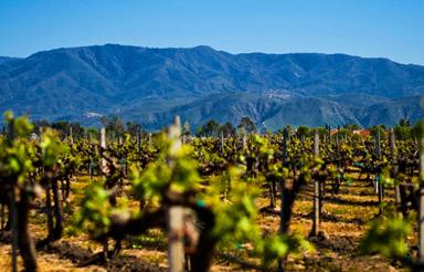 Vineyard, Ponte Family Estate in Temecula, Calif., USA