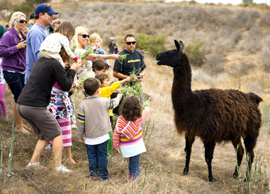 Llama, El Capitan Canyon in Santa Barbara, Calif., USA