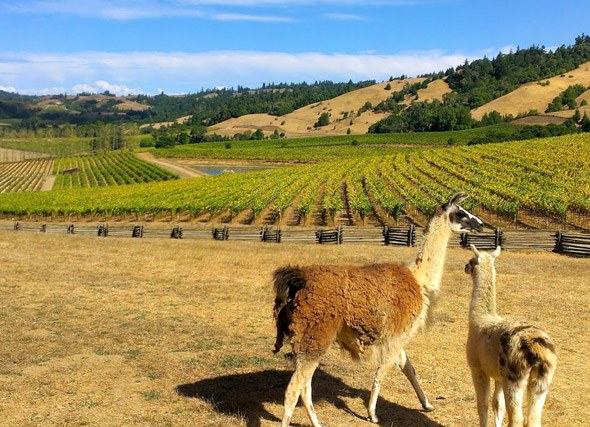 Navarro Vineyards in the Anderson Valley, America's greenest wine country