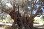 greece-evia-ancient-olive-tree