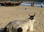 india-Goa--cow
