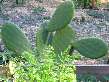 Organic cactus: soon to be nopales in a quesadilla or burrito