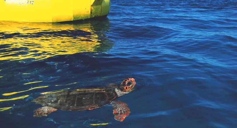 Loggerhead turtle - Zakynthos, Greece