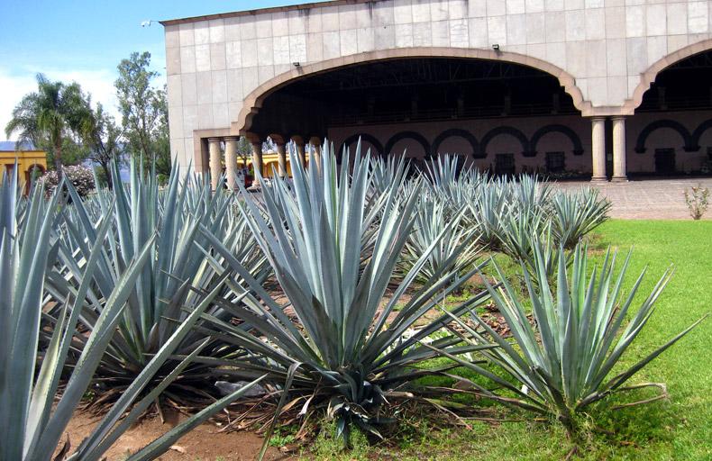 Blue agave, Tequila Herradura - Amatitan, Jalisco, Mexico